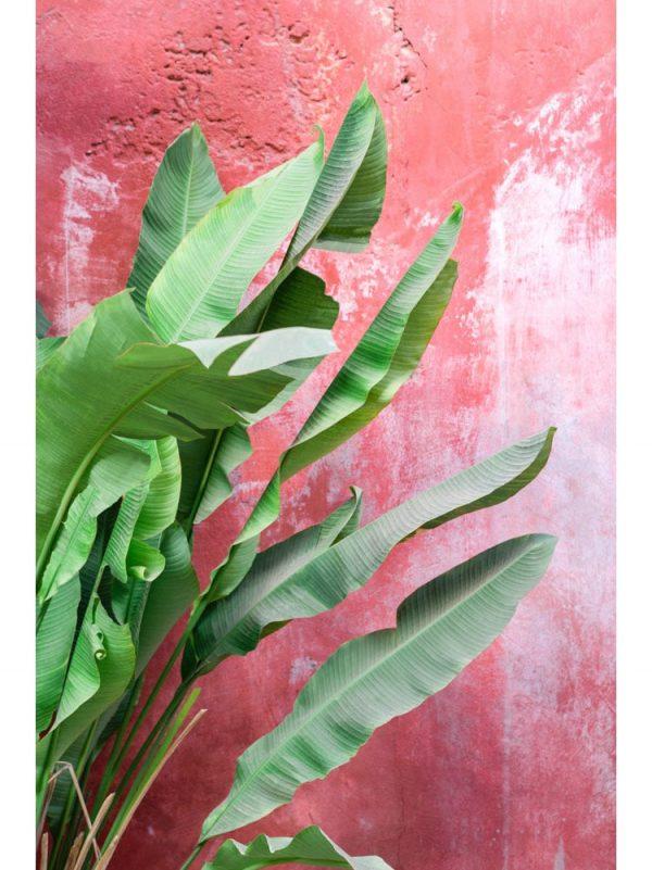 Bananier sur mur rouge