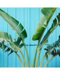 Bananier sur mur bleu